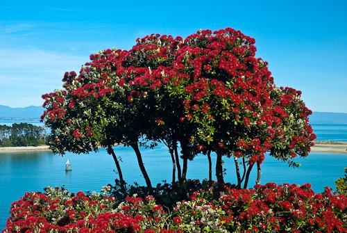 tradiciones navideñas - Pohutukawa árbol de navidad en Nueva Zelanda